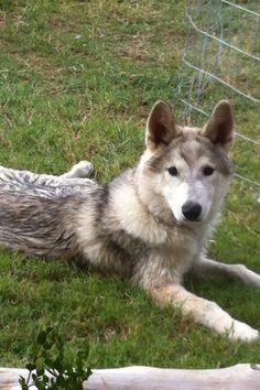 My Takoda. Timber Wolf.