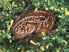 sleeping fawn | Sleeping fawn - Deer Photo (10577069) - Fanpop fanclubs