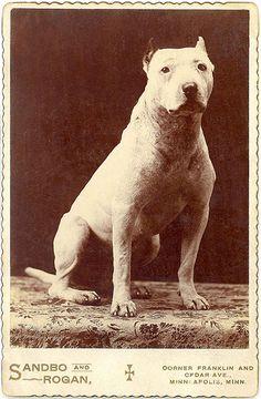 Pitbull cabinet card