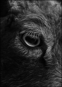 Goat eye