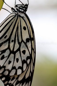 Butterfly patterns are almost hypnotic ... DSC00828.jpg by damon.yancy, via Flickr