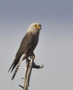Dickinson's Kestrel (Falco dickinsoni) is a bird of prey of southern and eastern Africa belonging to the falcon family Falconidae.
