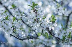 Весенняя зарисовка.Цветение вишни.(4)
