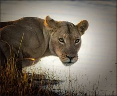 *Lion at the watering hole