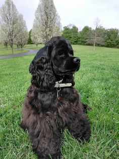 """See our website for more information on """"cocker spaniel puppies"""". It is an exceptional spot to find out more. Black Cocker Spaniel, American Cocker Spaniel, Cocker Spaniel Puppies, Clumber Spaniel, Spaniels, Girls Best Friend, My Best Friend, Cockerspaniel, Puppies And Kitties"""