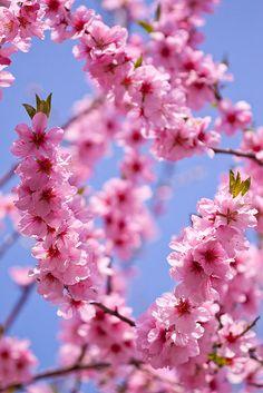 tinnacriss:Cherry blossom portrait by ZedBee Frühling Wallpaper, Flower Phone Wallpaper, Cute Wallpaper Backgrounds, Nature Wallpaper, Cherry Blossom Wallpaper Iphone, Cherry Flower, Cherry Blossom Tree, Blossom Trees, Wonderful Flowers
