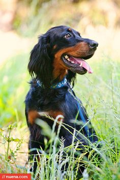 Abby the Gordon Setter by Kira Stackhouse #dog #pet #gordonsetter #setter #smile #petphotography