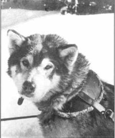 Rowdy Of Nome, born at Nome, Alaska, 1927 - the dog that inspired Eva Seeley