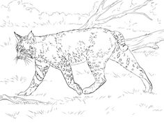 Realistic Bobcat coloring page from Bobcats category. Select from 32012 printable crafts of cartoons, nature, animals, Bible and many more. Forest Coloring Pages, Farm Animal Coloring Pages, Coloring Pages For Girls, Cute Coloring Pages, Coloring Pages To Print, Free Printable Coloring Pages, Coloring For Kids, Coloring Books, Colouring