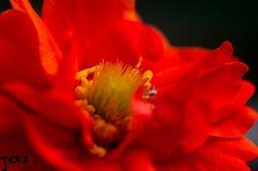 Orange explosion   #Flower  #Closeup  #Macro  #Pollen  #Stamen  #Petals  #Nature  #Garden  #Outdoor  #Photography  #Photographer  #Blur  #Orange  #Blooming  #Yellow  #Color  #Light  #Flora