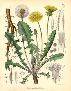 One of my favorite flowers  Carl Friedrich Schmidt - Taraxacum officinale