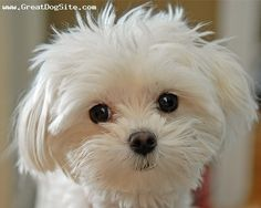 Maltese - Look at that face!