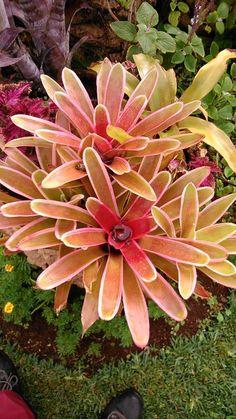 guzmania tipy (tiffany variegada)nativa tropical, via flickr