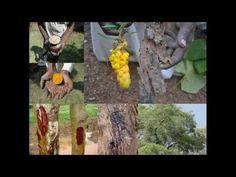 Medicinal Rice P5N Formulations for Piper Excess: Pankaj Oudhia's Medici...