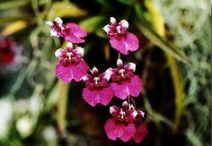 Oncidium orchid flower Oncidium equitant