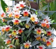 Dendrobium bellatulum 1 Espécies De Plantas, Orquídeas