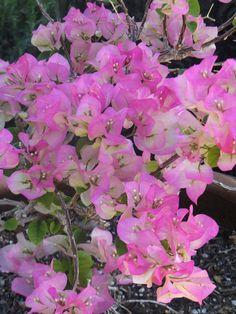 Bougainvillea 'Hawaii'- Desert Botanical Garden, Center for Desert Living Trail