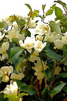 Magnolia laevifolia 'Inspiration' PPAF | Plants Nouveau All Flowers, White Flowers, Backyard Paradise, Garden Shrubs, Plant Species, Small Trees, Flowering Trees, Garden Planning, Garden Inspiration