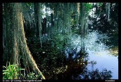 Cypress and reflections, Lake Martin. Louisiana,
