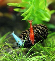 Blue Jelly Shrimp, Red Cherry Shrimp