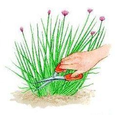 Harvest and conservation of the chives Garden Art, Flower Garden, Permaculture, Garden Online, Herbs, Garden, Home Flowers, Garden Harvest, Garden Planning