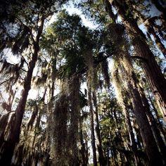 14 September 2013 - Palm Harbor, FL #florida #trees #forest #swamp