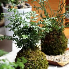 Japanese moss ball // DIY : comment réaliser un Kokedama ?