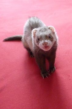 Pearl of Freedom, moje prvni fretka. My first ferret :)