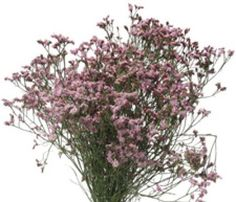 Wholesale Limonium Pink - Statice, Sea Lavender - Blooms by the Box