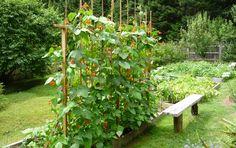 """Trellis Your Green Beans! 7 """"How To"""" tips. Trellis Your Green Beans! 7 """"How To"""" tips. Building A Trellis, Building A Raised Garden, Raised Garden Beds, Raised Beds, Bean Trellis, Garden Trellis, Cucumber Trellis, Starting A Garden, Easy Garden"""