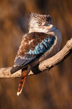 "Blue-winged Kookaburra...""kookaburra sits in the old oak tree,  Merry, merry king of the bush is he, Laugh, kookaburra!   Laugh, kookaburra!   Gay, your life must be, Ha, Ha!"""