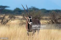 Stock-Foto : East African Oryx
