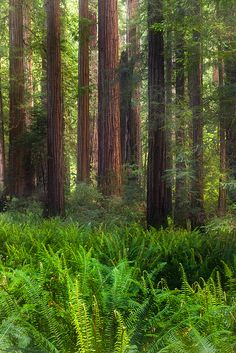 Redwood Forest, Northern California: By far one of my favorite places in the world! Beautiful World, Beautiful Places, Mystical Forest, Redwood Forest, Tree Forest, Forest Scenery, Magic Forest, Old Trees, Bob Ross