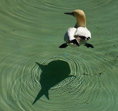 The duck with the shark-shadow.