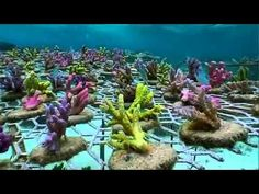 Coral Gardening in Fiji | We should start a program to do this here in South Florida ☮ re-pinned by http://www.wfpblogs.com/author/southfloridah2o/