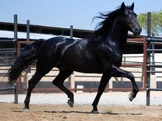 Black Tennessee Walking Horse- BEAUTIFUL