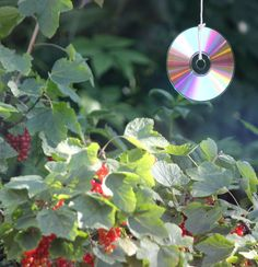 Old CD's make excellent bird scarers for trees and garden plants.