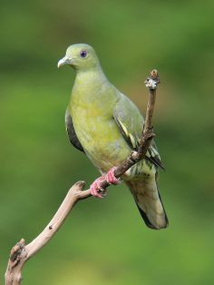 Pink-necked Green Pigeon by See Toh Yew Wai, via Flickr