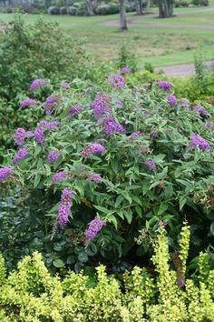 Lo & Behold® 'Purple Haze' - Butterfly Bush - Buddleia