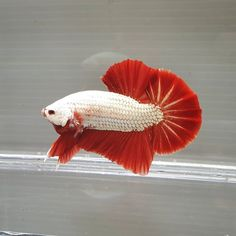 Knowing All Types Of Betta Fish - By Tail, Pattern And Color With Photo And Description - The betta fish is also called Siamese fighting fish is one of the popular fish are keeping by fish hobbies. Betta Fish Types, Betta Fish Care, Siamese Fighting Fish, Pet Fish, Fish Patterns, Colorful Animals, Beautiful Fish, Crabs, Aquariums