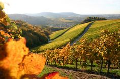 Whoever explores Slovenia discovers its wines. Learn about the typical and indigenous wines from three wine-growing regions of Slovenia. Tulare California, California Wine, Grape Vineyard, Barolo Wine, Temecula Wineries, Pinot Noir Wine, Virginia Wineries, Happy Canada Day, Wine Case