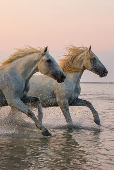 Horses, heste, animal, water, splashes, ocean view, beautiful, gorgeous, beauty