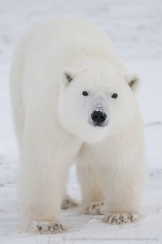 Did you know that polar bears have small bumps on their paws called papillae that keep them from slipping on the ice?