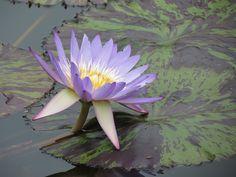 Nénuphar, Brooklyn Botanical Garden de N-Y.   Photo de Suzanne FERET