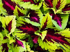 Coleus Kong Rose Coleus, Shrubs, Rose, Flowers, Plants, Black, Garden, Succulents, Shade Shrubs
