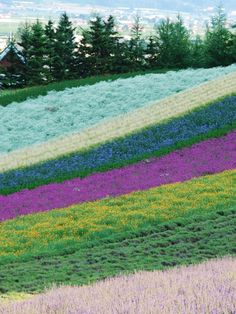 Provence lavender fields in Grasse, France. This place is amazing! Also the flower Capitol of the world!