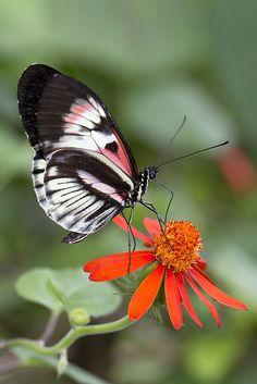 Piano Key Butterfly Feeding