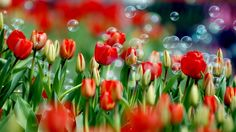 nice Red Tulips