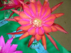 """Epiphyllum Orchid Cactus Hybrid """"Coral Dance"""" Don's Cuttings 