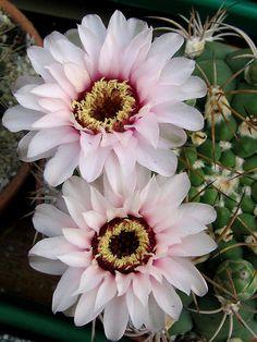 Gymnocalycium Cactus Flowers